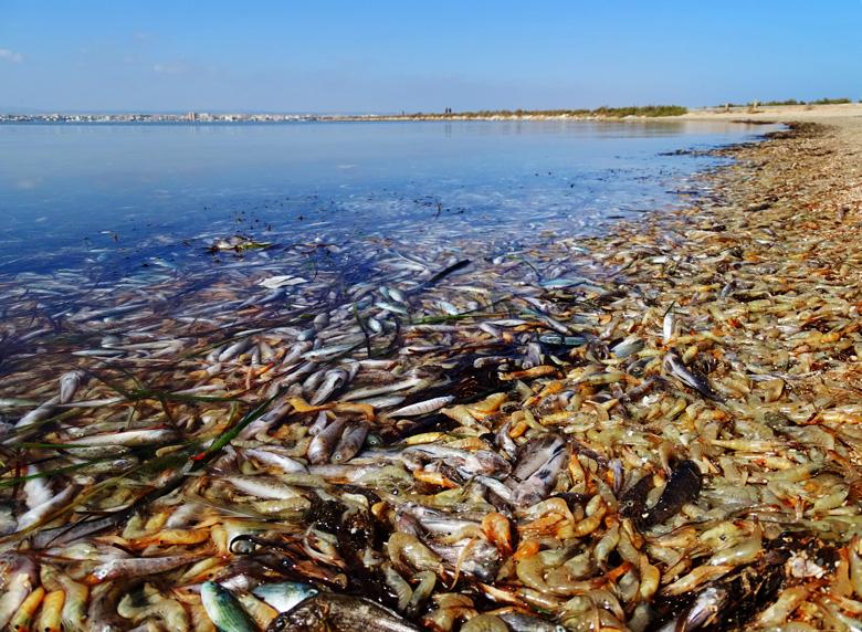 Cientos de miles de peces y crustáceos muertos a mediados de octubre en la playa de la zona norte del Mar Menor, en San Pedro del Pinatar.