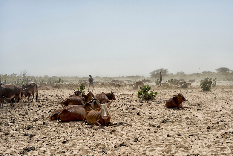 Bestiar esperant el torn per poder beure, al voltant de l'únic pou que queda amb aigua en aquesta zona